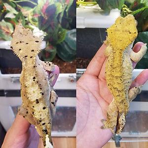 gecko pair 3.jpg
