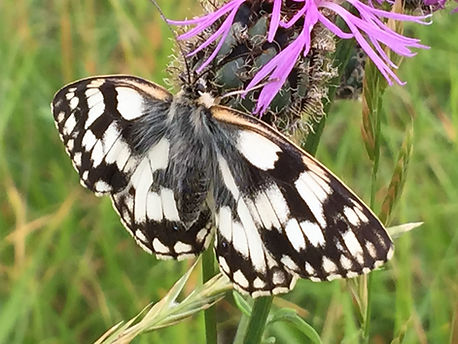 The famous marbled white butterfly