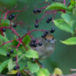 Mönchsgrasmücke_02.jpg