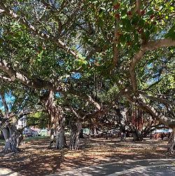 Banyan Trees Lahaina.jpg