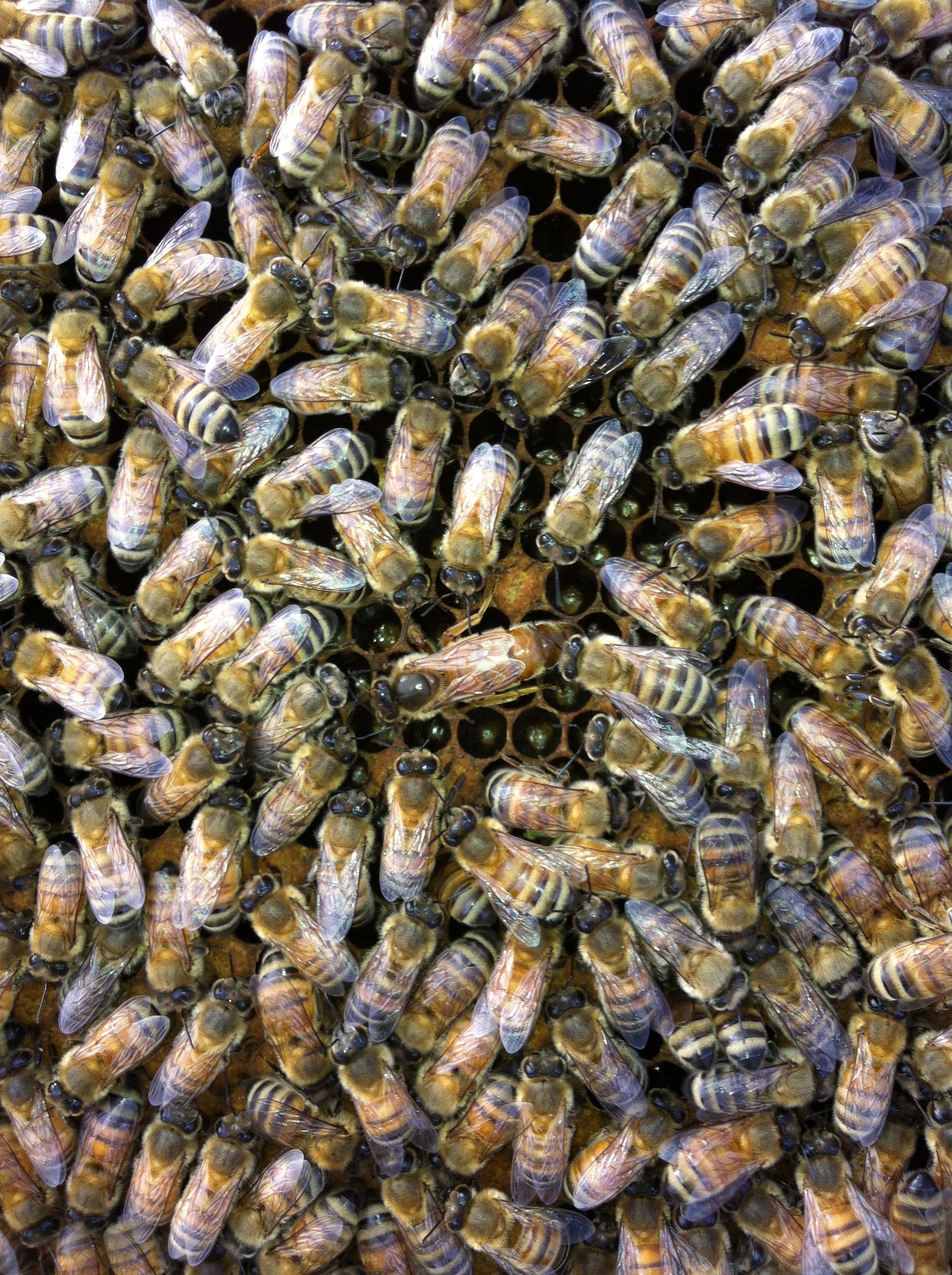 Bees + Queen