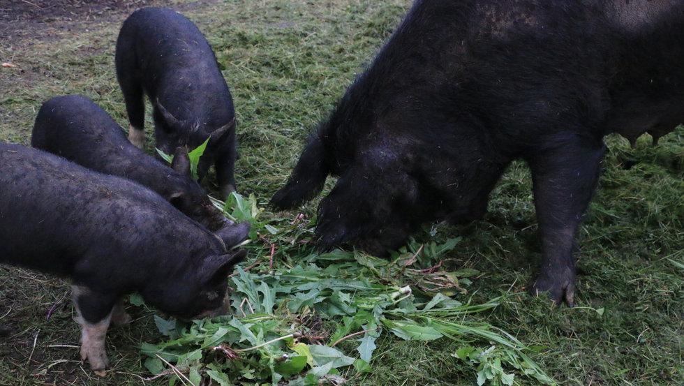 sow w piglets.jpg