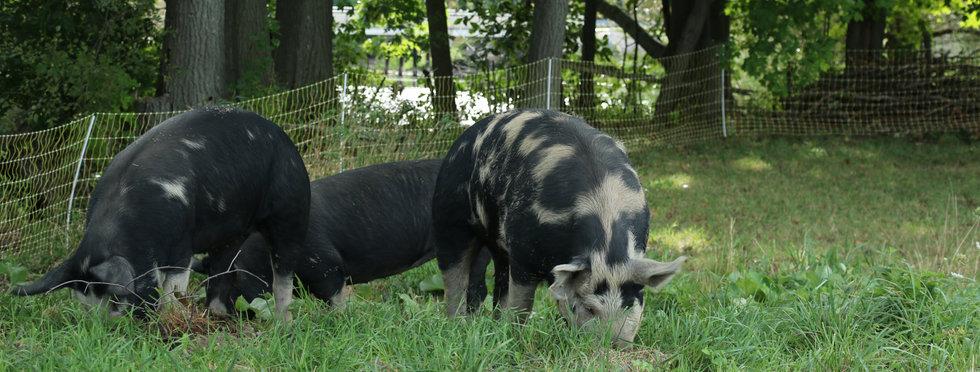 field pigs.jpg