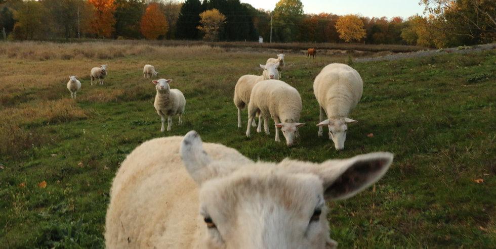 sheep on pasture.jpg