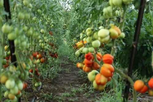 Ripe tomatoes rows web