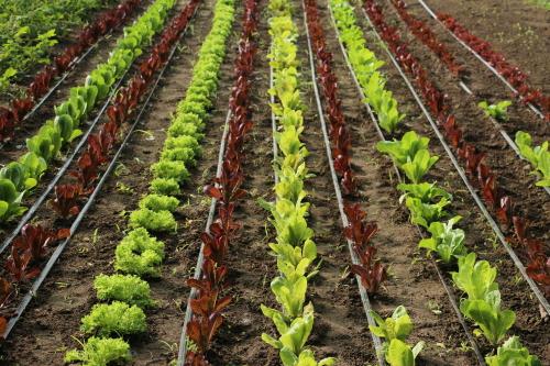 lettuce web