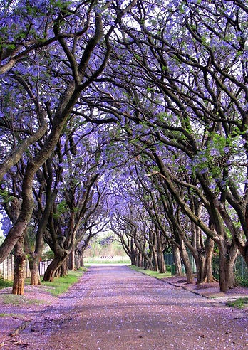 Wisteria Trees in South Africa, Purple, Lavender, Calm, Path