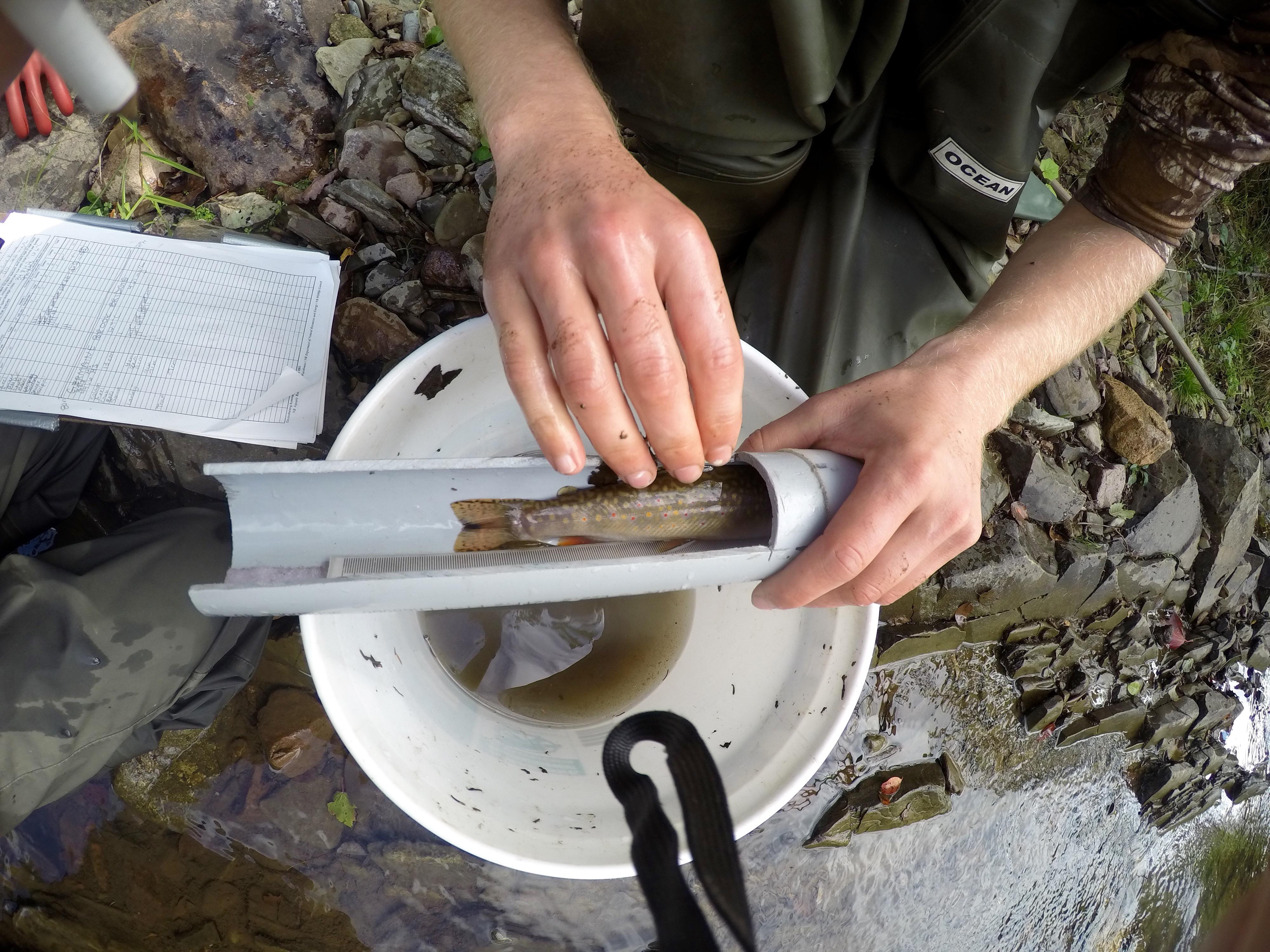 Measuring fork length