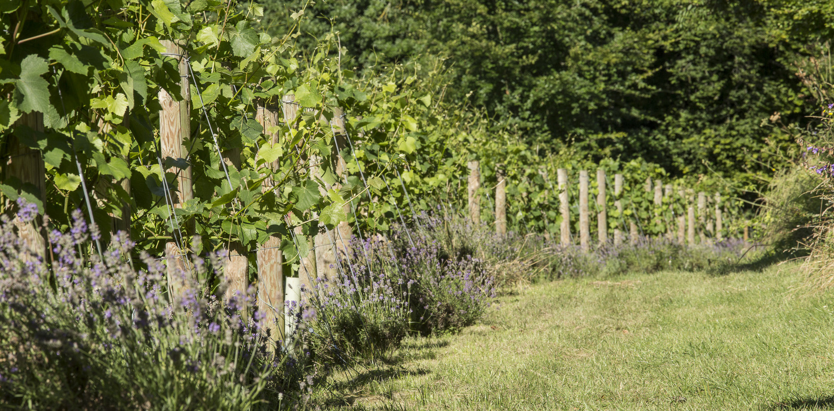 East Meon Vineyard