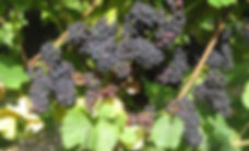 ripe grapes in the East Meon Vineyard