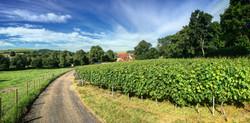 East Meon Vineyard