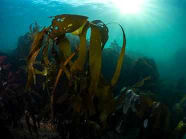 Kelp at SilverSteps.jpg