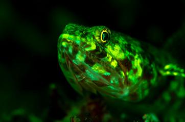 Fluorescent Lizardfish