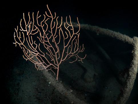 SeaFan1.jpg