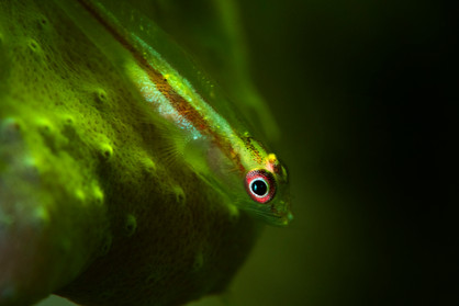 Fluorescent Coral Goby