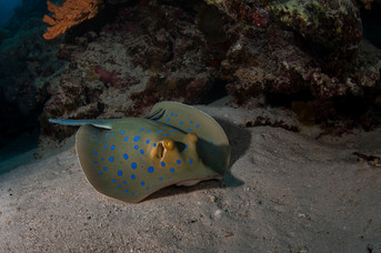 Blue spotted ray on sand