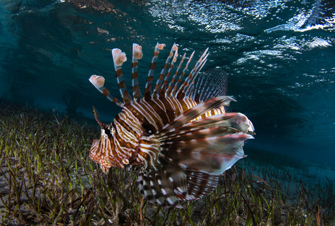 Lionfish over seagrass