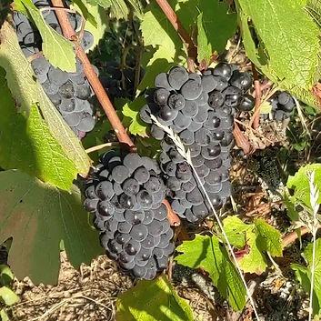 Vignoble de Michel Guignier, Biodynamie, Beaujolais
