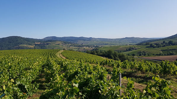 Vignoble Beaujolais.jpg