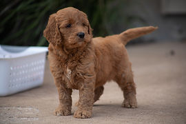 Rafter W Farms | Mini Goldendoodles in West Point, IA