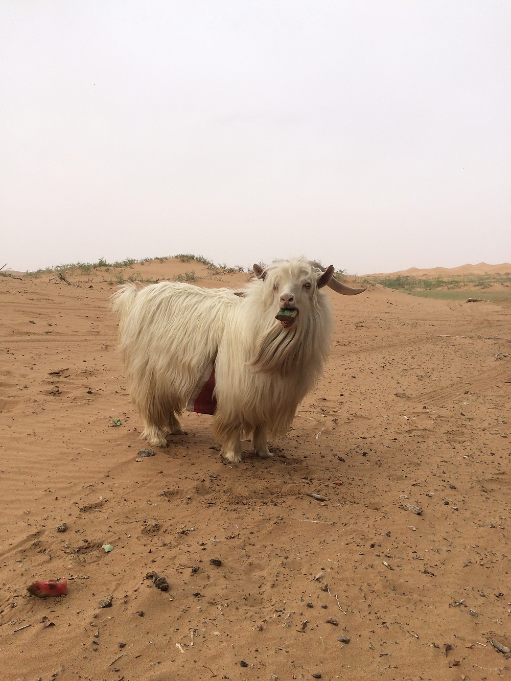 A goat belonging to a family who lives near an oasis in the Tengger Desert. Photo: Simina Mistreanu