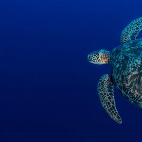 Dr. Kim's Sea Turtles