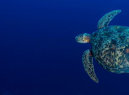 THE AMAZING STORY OF HOW SEA #TURTLES MATE AND REPRODUCE. #OMAN