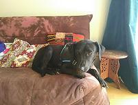 Croisé Labrador