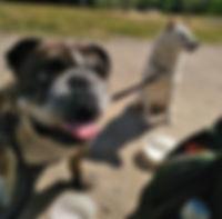 Bulldog et Shiba inu