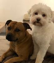 Staffie et petit chien lion