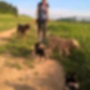 Promenades collectives de chiens