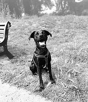 Photo Labrador Retreiver