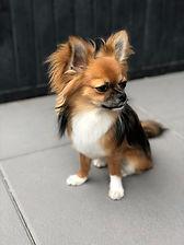 Photo Chihuahua