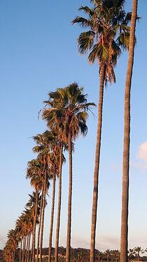 SanDiego-LaJollaBeach-palmtrees.JPG