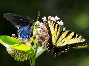 Butterfly Musings