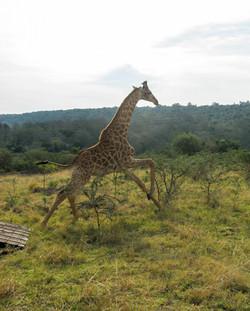 Giraffe offloading #2