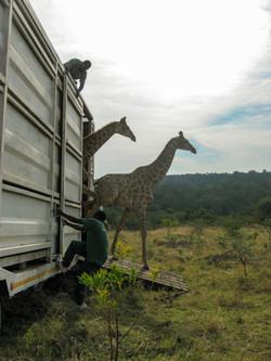 Giraffe offloading #1