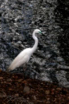 Brosbe_Kandy Heron by Jeffrey R Brosbe.j