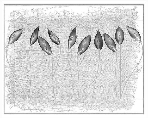 Everds_Peace Lilies web.jpg