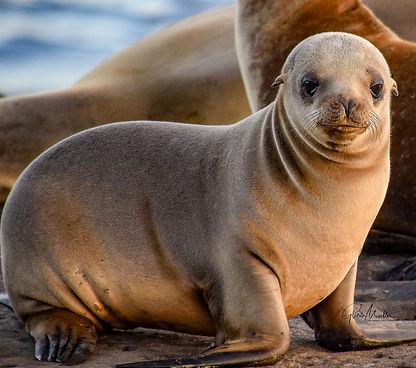 Moeller 6 - Curious Baby Sea Lion.jpg