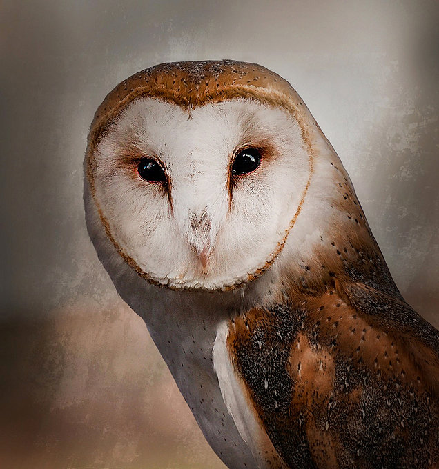 Brock Poly Photo HM Barn Owl by beverly