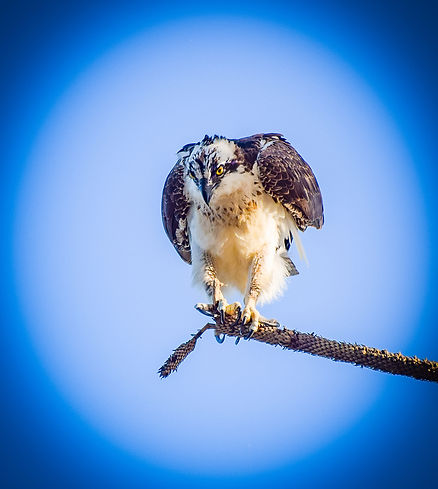 Moeller Hunting Osprey.jpg