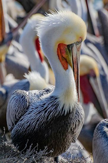 Moeller 4 - Pelican Profile.jpg
