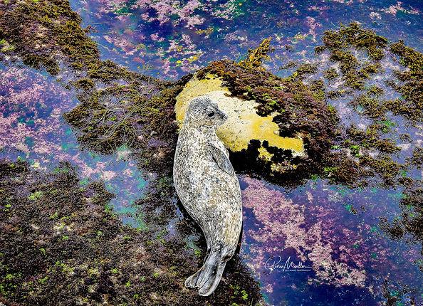 Moeller 7 - Black and White Harbor Seal