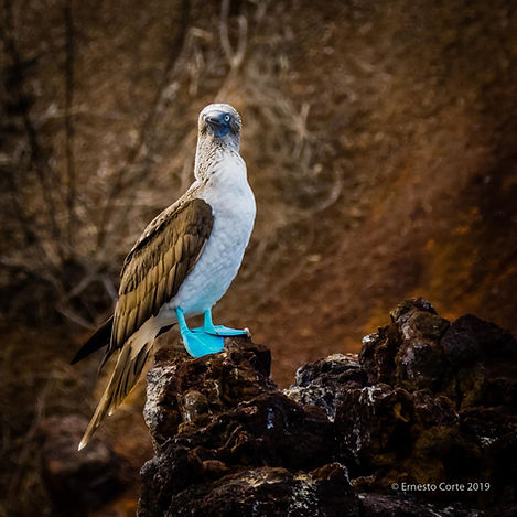 Corte Blue Footed Booby Galapagos.jpg