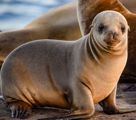 Moeller Curious Baby Sea Lion.jpg