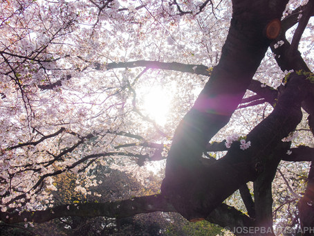 The way of Hanami