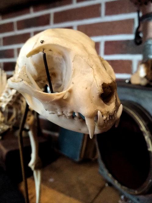 Squelette de chat Auzoux début XXème.