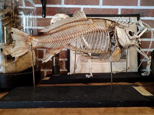 Squelette de carpe Deyrolle XIXème.
