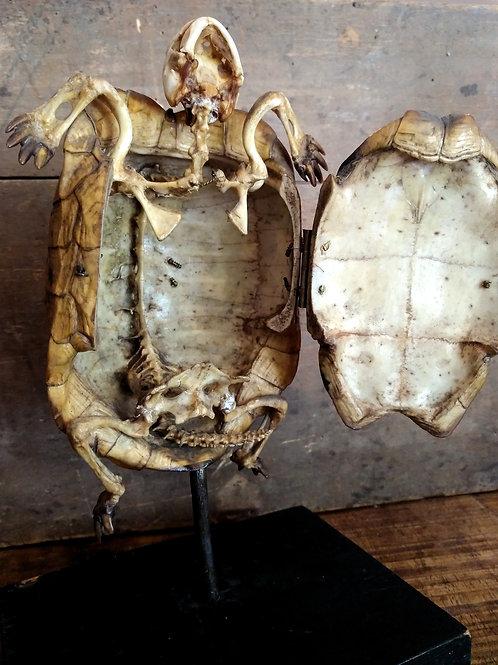 Squelette de tortue de terre, Deyrolle XIXème.
